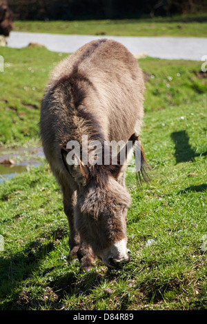 donkey grazing at Gorley, New Forest National Park, Hampshire UK in April - Stock Photo