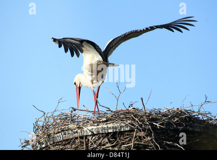 Adult male White Stork (Ciconia ciconia) landing on the nest - Stock Photo