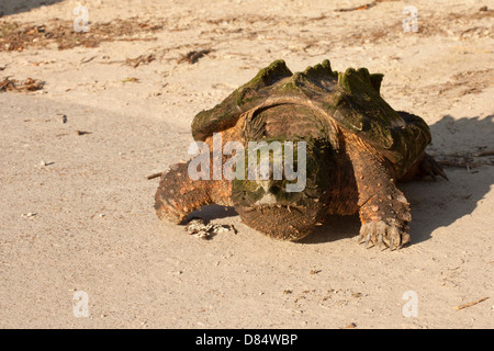 Alligator snapping turtle walking down a boat ramp - Macrochelys temminckii - Stock Photo