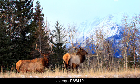 40,914.04387 Two elk bulls with large antlers on conifer forest edge with snowy mountain background. - Stock Photo