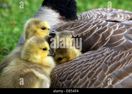 41,411.00102 Four Canada goose goslings snuggle under mother's wing. - Stock Photo