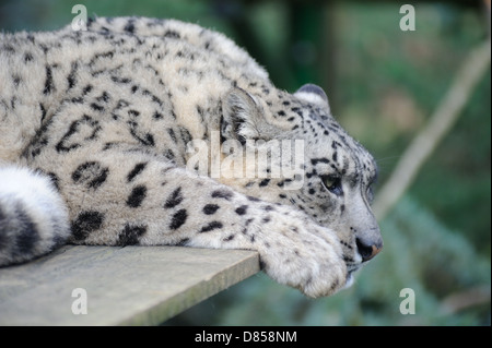 Snow leopard resting but alert - Stock Photo