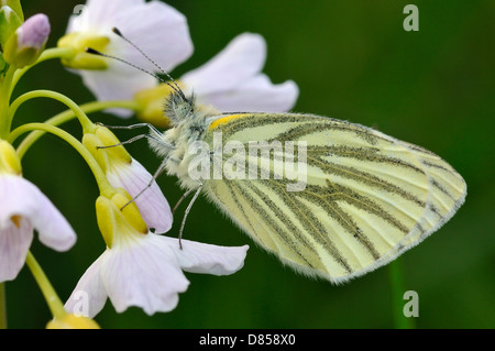 Green-veined White Butterfly - Pieris napi Underside, resting on Cuckoo Flower or Lady's Smock - Cardamine pratensis - Stock Photo