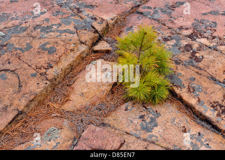 Canadian Shield granite outcrops with Eastern white pine Pinus strobus Killarney Provincial Park Ontario Canada - Stock Photo