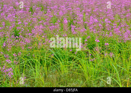 Fireweed (Chamaenerion angustifolium) Colony Greater Sudbury, Ontario, Canada - Stock Photo