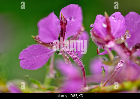 Fireweed (Chamaenerion angustifolium) Flowers with rain Greater Sudbury, Ontario, Canada - Stock Photo