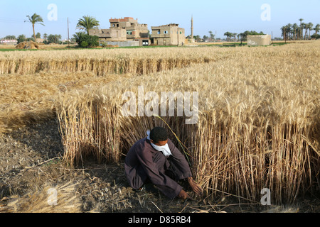 farmer harvesting wheat, Upper Egypt - Stock Photo