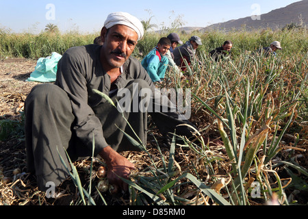 farmer harvesting onions, Upper Egypt - Stock Photo