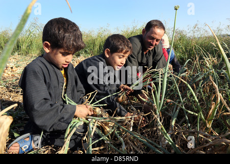 boys harvesting onions in Upper Egypt - Stock Photo