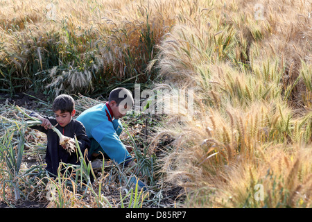 boys harvesting onions beside a wheat field in Upper Egypt - Stock Photo