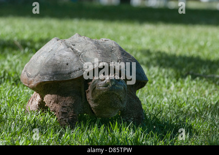 Female Snapping Turtle looking for a place to lay her eggs on the shores of the Haines Creek River in Lake County, - Stock Photo