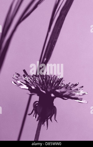 Common dandelion - Stock Photo