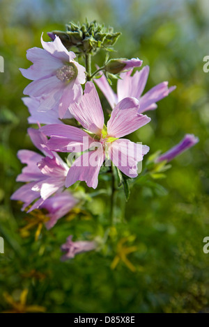 Musk-mallow (Malva moschata) in flower - Stock Photo