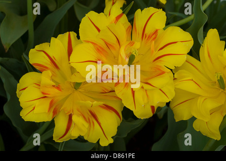 Yellow red tulip blossoms (close up) - Stock Photo
