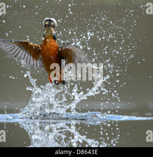 Diving kingfisher - Stock Photo