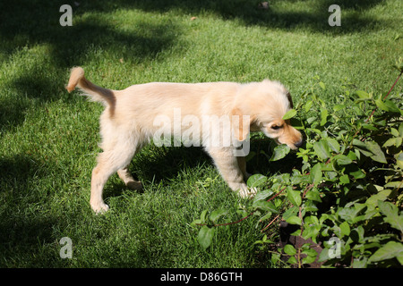 A Golden Retriever puppy chewing on a plant outdoors. - Stock Photo