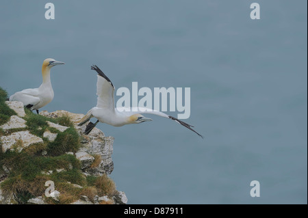 A courting pair of northern gannets (Sula bassana; Morus bassanus); one flies off as the other watches. - Stock Photo