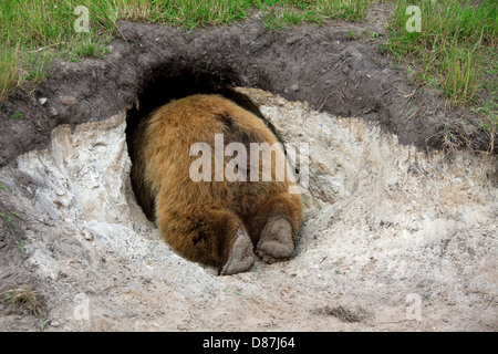European brown bear (Ursus arctos arctos) entering its den, Sweden - Stock Photo