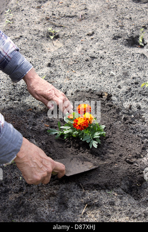 Old woman planting a flower in her garden - Stock Photo