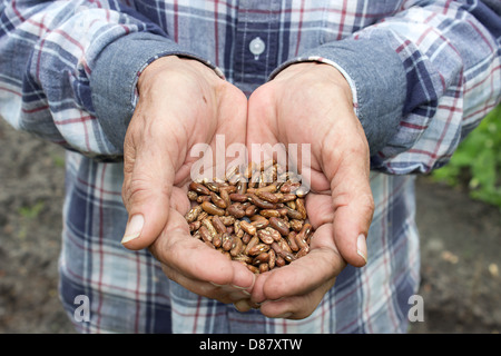 A heap of haricot beans in old woman's hands - Stock Photo