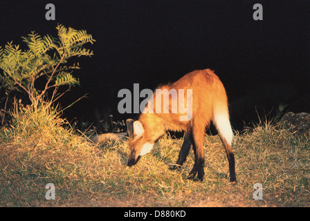 The maned wolf ( Chrysocyon brachyurus ) is the largest canid of South America, resembling a large fox with reddish - Stock Photo