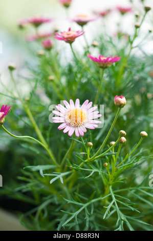 Daisy sunflower with natural green background - Stock Photo