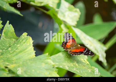 Scarlet Peacock or Anartia amathea butterfly in dutch butterfly garden - Stock Photo