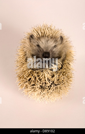 Young blonde European hedgehog curled in ball in studio - Stock Photo