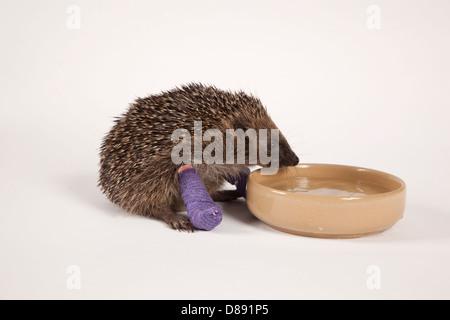 European hedgehog with bandaged leg drinking - Stock Photo