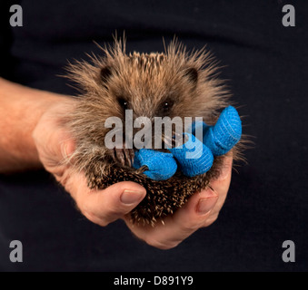Juvenile European hedgehog in hand with bandages on legs - Stock Photo
