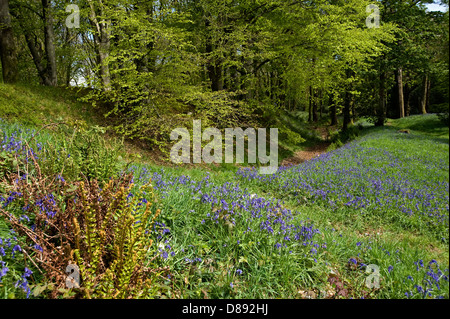 bluebells flowering at Blackbury Camp, a Devon Iron-age fort, with beech and oak trees in young leaf on a bright - Stock Photo