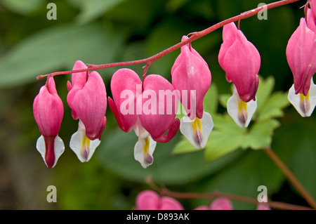 Bleeding Heart Flowers, lamprocapnos spectabilis.(formerly Dicentra spectabilis) - Stock Photo
