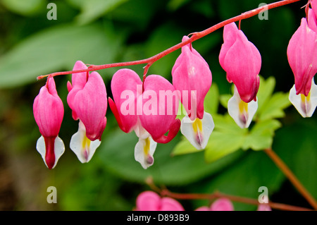 Bleeding Heart Flowers, lamprocapnos spectabilis. (formerly Dicentra spectabilis) - Stock Photo