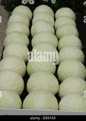 London, UK. 21st May 2013.  Cabbages   London, UK. Credit:  Ian Thwaites / Alamy Live News - Stock Photo