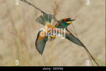 European Bee Eater in flight after taking off from nearby branch - Stock Photo