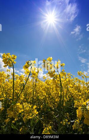 Germany/Saxony/Marsdorf, fresh yellow fields of canola in Marsdorf near Dresden, 12 May 2013 - Stock Photo