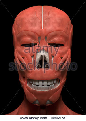 Digital medical illustration: Anterior (front) view of human skull (skeleton with muscles). - Stock Photo