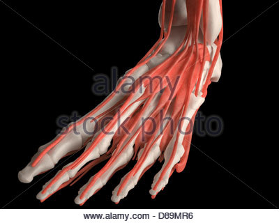 Digital medical illustration: Top view of human foot (skeleton with muscles). - Stock Photo