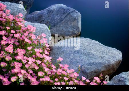 Geraniums at pondside. Palm Desert, California - Stock Photo