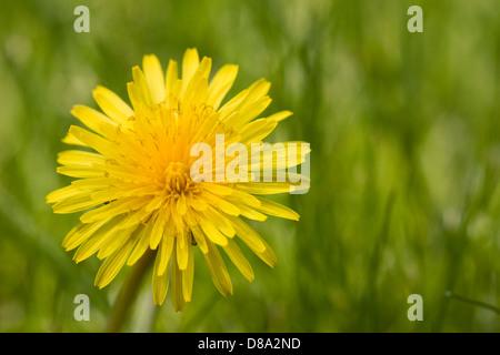 Taraxacum officinale. Dandelion on a lawn. - Stock Photo