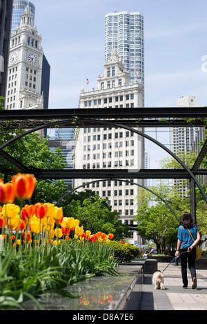 woman walking dog under archway in pioneer court chicago tribune building michigan ave tulip season spring wrigley - Stock Photo