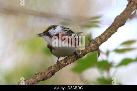 Chestnut-sided warbler (Dendroica pensylvanica) on tree branch, breeding plumage. - Stock Photo