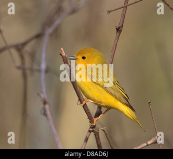 Yellow warbler Setophaga petechia) - Stock Photo