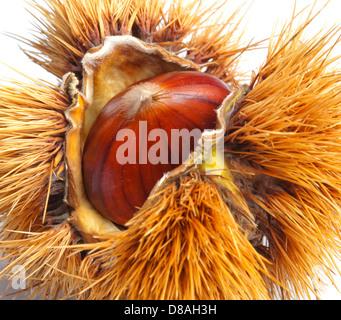 Chestnut hedgehog isolated on white background - Stock Photo