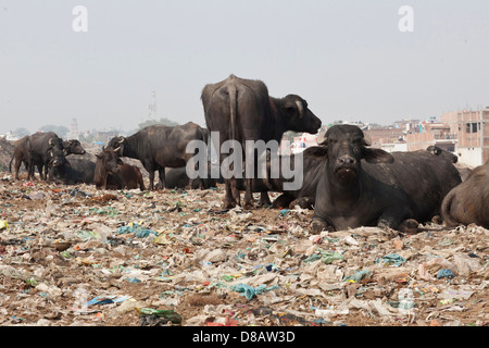 Cows living in a rubbish dump in India - Stock Photo