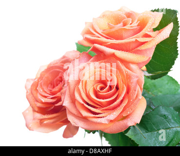 Roses with dew drops isolated on white background. Empty room for text - Stock Photo