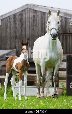 A Mare with its 6 day old foal outside in a paddock in England in spring time - Stock Photo