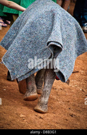 Rear view of an Elephant calf, Loxodonta africana, with a blanket protecting her at the Sheldrick Elephant Orphanage, - Stock Photo