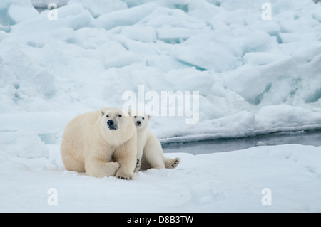 Polar Bear Mother with Cub, cuddling together, Ursus maritimus, Olgastretet Pack Ice, Spitsbergen, Svalbard Archipelago, - Stock Photo