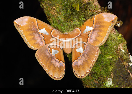 Giant Silk Moth (Rothschildia triloba) in the rainforest of Volcan Arenal National Park - Stock Photo